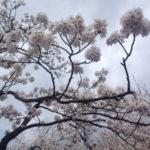 曇り空と桜