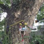 チェンマイの木