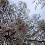 桜、咲きましたね(^^)